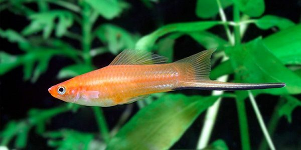 Swordtail-Fish-1-600x300
